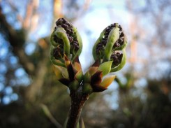 Photo of lilac buds unfurling