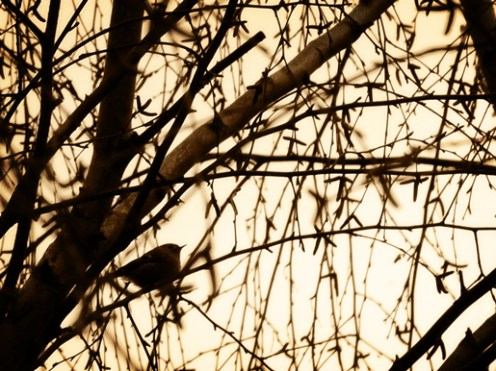 photo of bird in birch trees