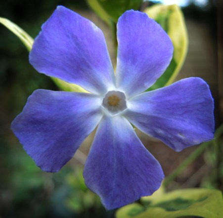 Photo of periwinkle