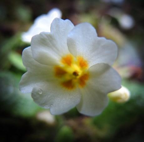 primrose-m-day-2