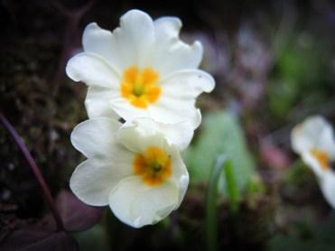 primroses-m-day-5