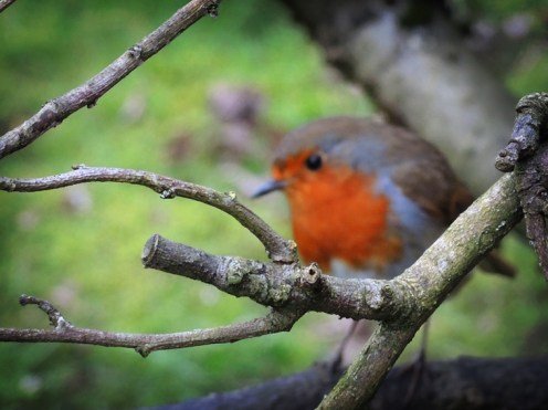 Photo of a robin redbreast