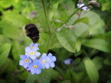 Photo of female hairy footed flower bee