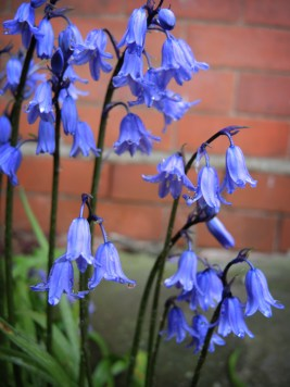 Hybrid Bluebells