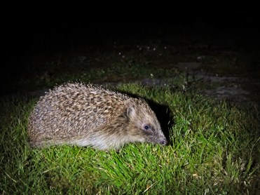hedgehog-210416-a