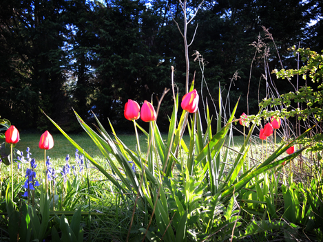 tulips-250416-a
