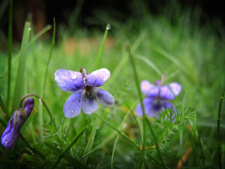 violet-drip