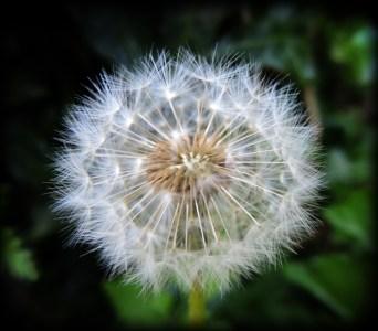 dandelion-col-holga
