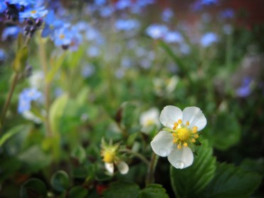 forget-me-not-strawberry
