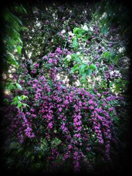 hawthorn-tree-220516