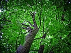 Photo of Horse-chestnut tree
