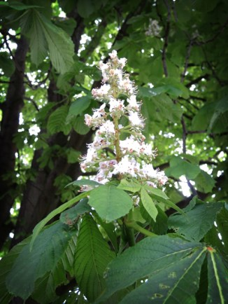 Photo of horse-chestnut flowers