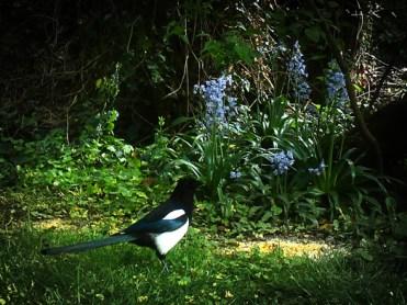 magpie-bluebells-3