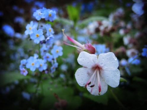 wet-geranium-forget-me-nots