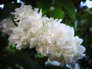 white-lilac-300516-a