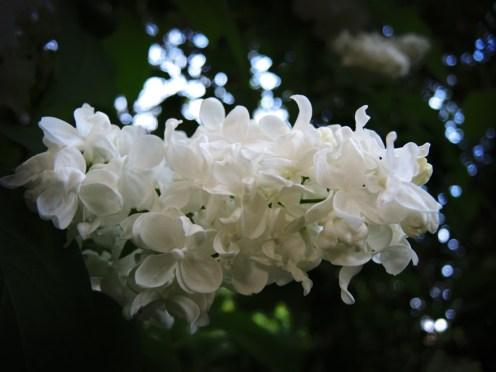 white-lilac-300516-b