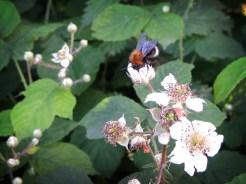 bee-bramble-2