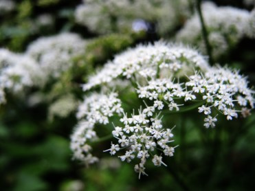 cow-parsley-150616