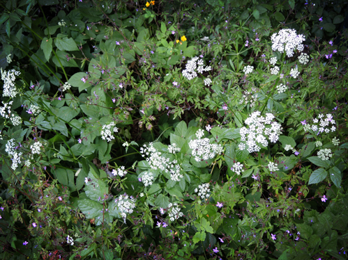 cow-parsley-3