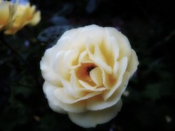 cream-rose-090616