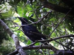 Photo of fledgling crow