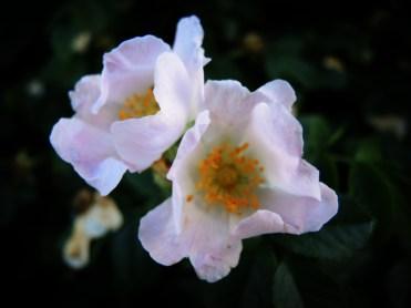 dog-roses-180616