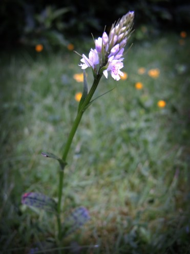 spotty-leaved-plant-220616-a