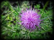 Photo of purple thistle flower