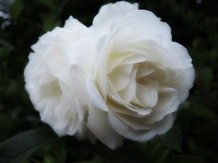 white-roses-090616-a