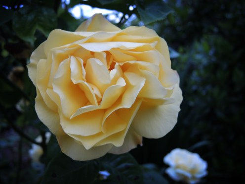 yellow-rose-090616-a