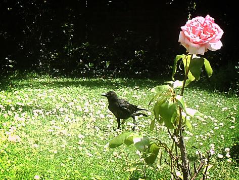 crow-rose