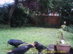 Photo of crows