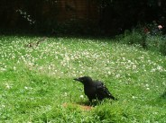 crow-squirl-7716