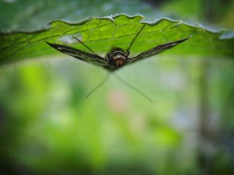 Photo of mint moth