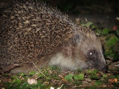 hedgehog-100816-b