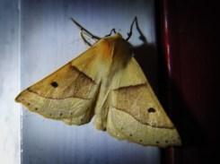 Photo of scalloped oak moth