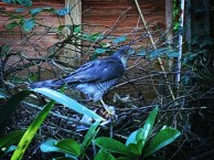 Photo of sparrowhawk