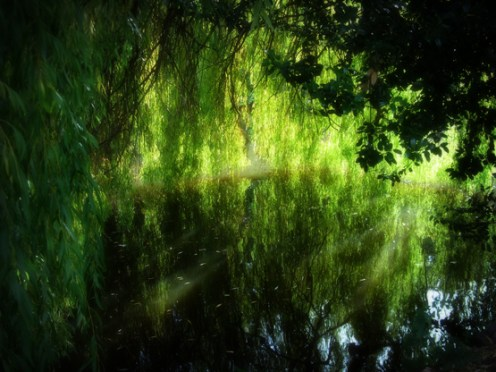 Photo of weeping willow