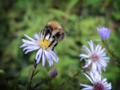 Photo of bumblebee on daisy