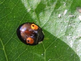 Photo of Harlequin Ladybird