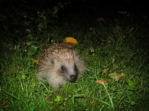 Photo of young hedgehog