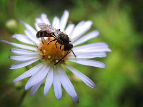 Photo of bee on daisy