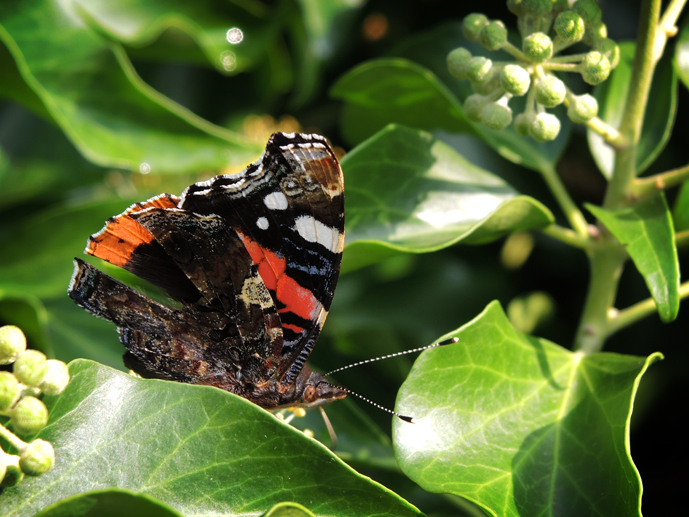 red-admiral-ivy-2