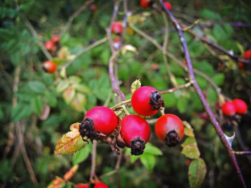 Photo of rosehips