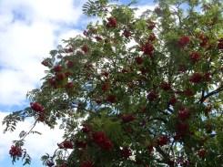Photo of Rowan tree