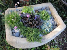 Photo of alpine trough plants