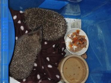 Photo of hedgehogs