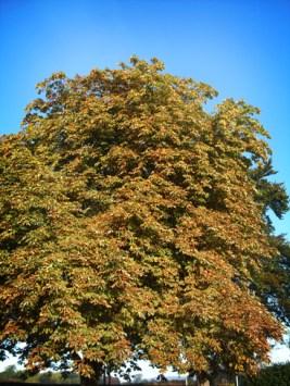 Photo of horse-chestnut tree in autumn