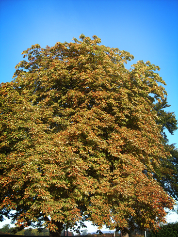 Photo of horse-chestnut tree in autumn
