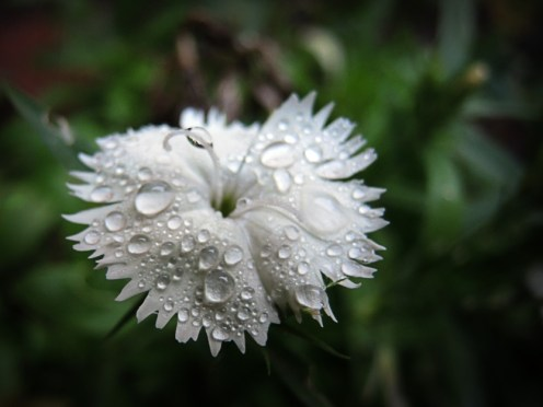 Photo of white dianthus flower